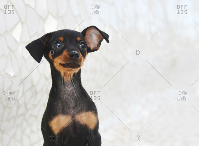 Adorable Prague Ratter puppy outdoors
