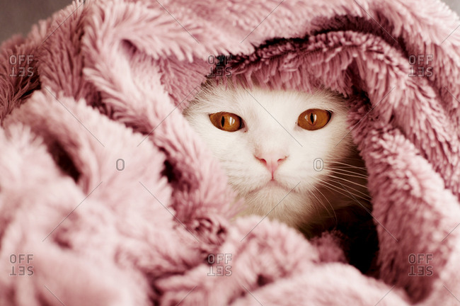 Beautiful white cat wrapped in a blanket
