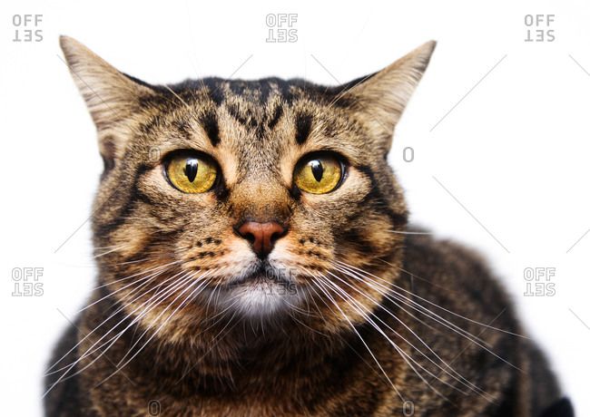 Portrait of senior tabby cat with yellow eyes