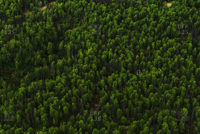 Aerial view of green trees in Alaska