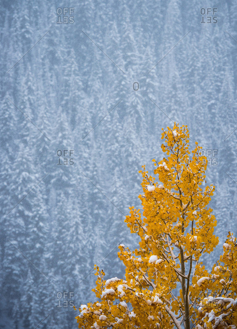 A tree with yellow foliage with snow covered trees in the background
