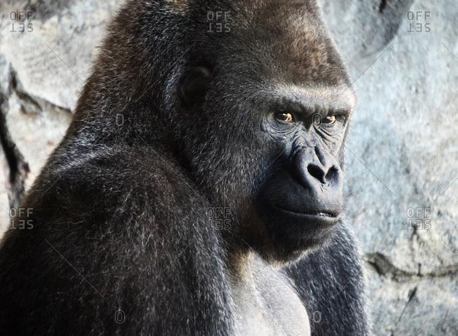 Adult silverback gorilla looking at camera