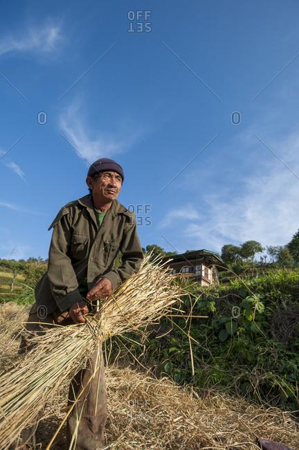 Laya, Gasa District, Bhutan - November 23, 2009: A man rice harvesting in east Bhutan ties up a bundle of rice