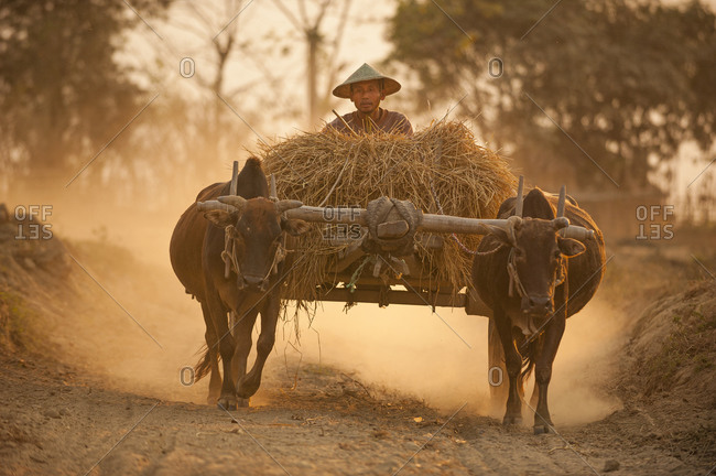 Myitkyina, Kachin State, Myanmar - March 20, 2010: Man with buffalo on a dusty track on the outskirts of Myitkyina in Myanmar