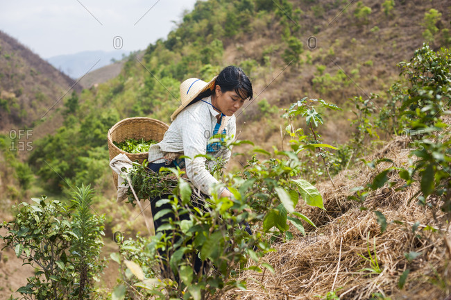 Kalaw, Shan State, Myanmar - April 1, 2010: A woman collects tea leaves on steep slopes. Only the young tea leaves are picked to be dried.