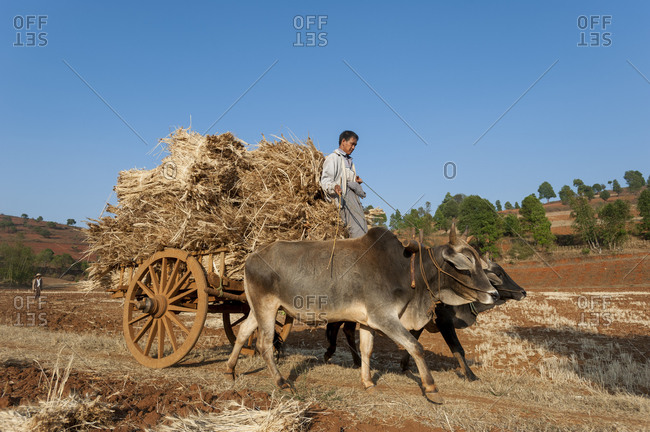 Pindaya, Shan State, Myanmar - April 2, 2010: A man takes a fully loaded cart of wheat from the fields