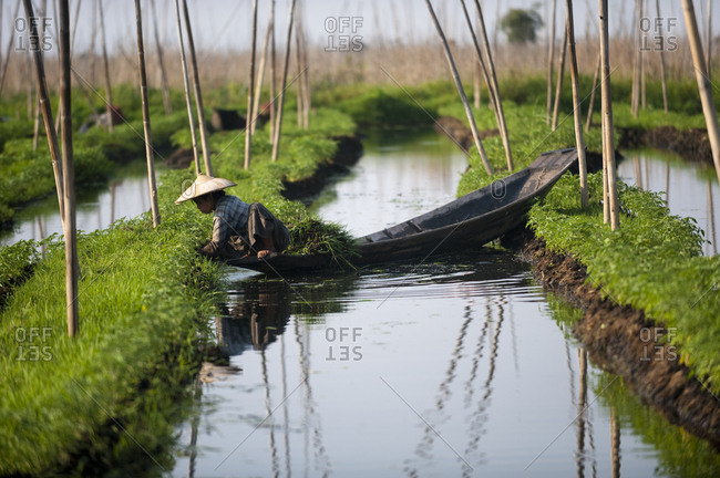 Inle Lake, Shan State, Myanmar - April 3, 2010: A woman works in the floating gardens on Inle lake