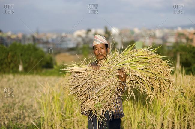 A man clutches a freshly harvested bundle of rice in Kathmandu