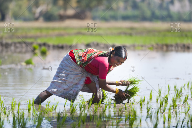 A woman plants bunches of young rice in a paddie