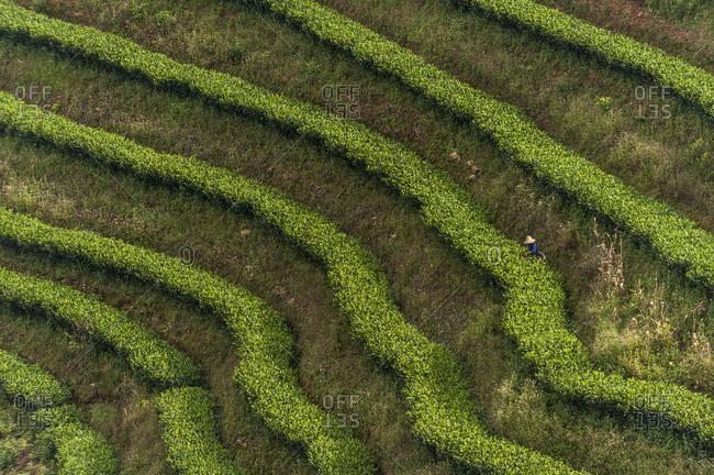 Picking tea leaves on a Puer tea plantation