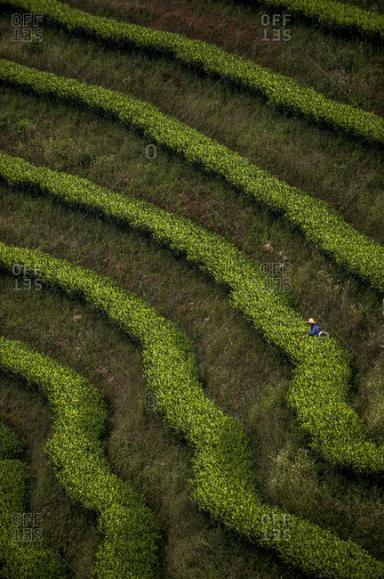 Rows of Puer tea bushes form a stripey pattern in the Yunnan Province