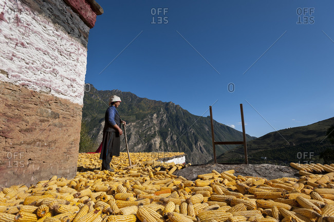 Drying Maize (corn) on the rooftops of traditional Tibetan houses