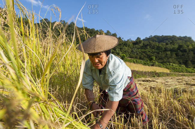 Rice harvesting in east Bhutan