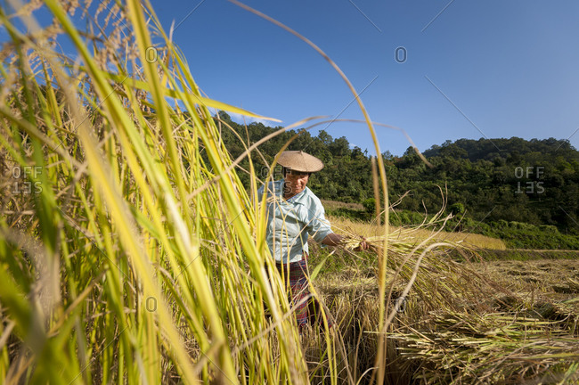 A woman harvests rice in east Bhutan near Mongar
