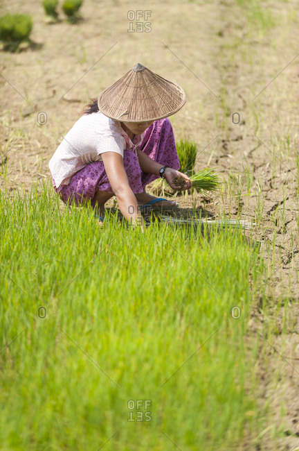 A Burmese woman wearing a traditional hat harvests young rice into bundles. The young rice will be re-planted spread further apart using more paddies to allow the rice to grow taller