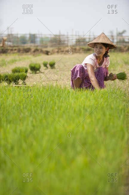 A Burmese woman wearing a traditional hat harvests young rice into bundles. The young rice will be re-planted spread further apart using more paddies to allow the rice to grow taller.