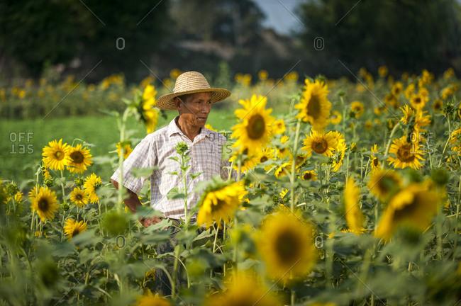 A man working in a sunflower field near Myitkyina in Kachin State