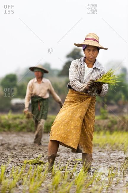 A woman plants rice in paddies near Myitkyina in Burma