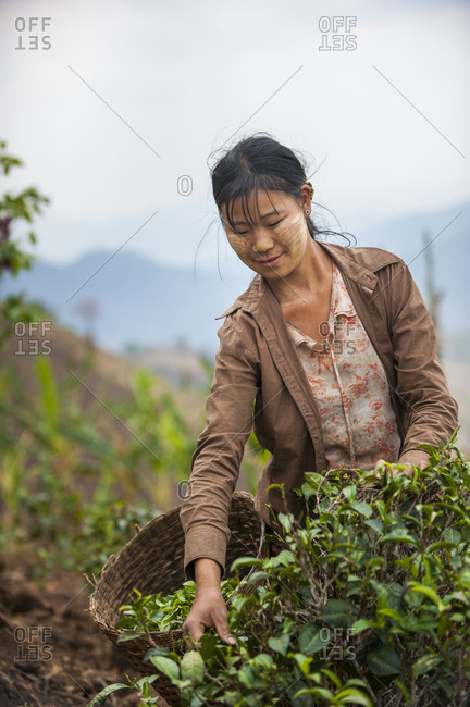A woman wearing Thanaka on her face collects tea leaves in Shan state in Burma
