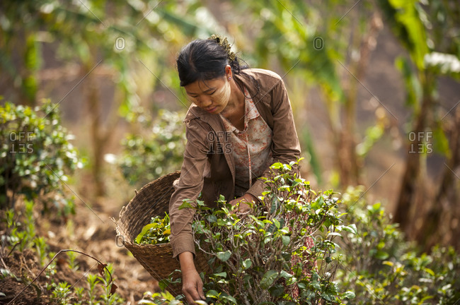 A woman wearing Thanaka on her face collects tea leaves in Shan state.
