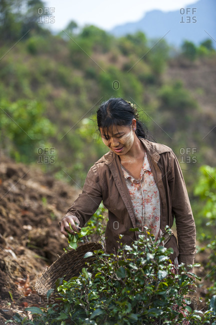 A woman wearing Thanaka on her face collects tea leaves. It's ground from tree bark and has been used by Burmese women to decorate their faces for thousands of years. It also acts as sun protection.