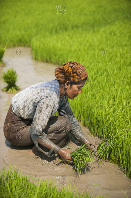 A woman harvests the first stage of rice in a rice paddie