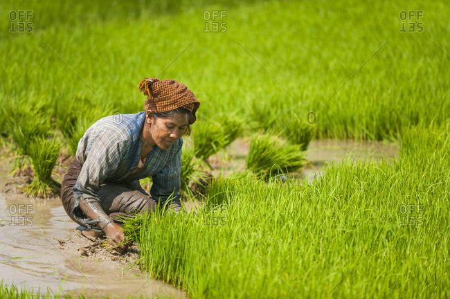 A woman harvests the first stage of rice in a rice paddie near Inle lake