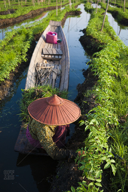 Working in the floating gardens on Inle lake