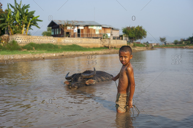 A boy pulls a water buffalo across one of the waterways near Inle Lake