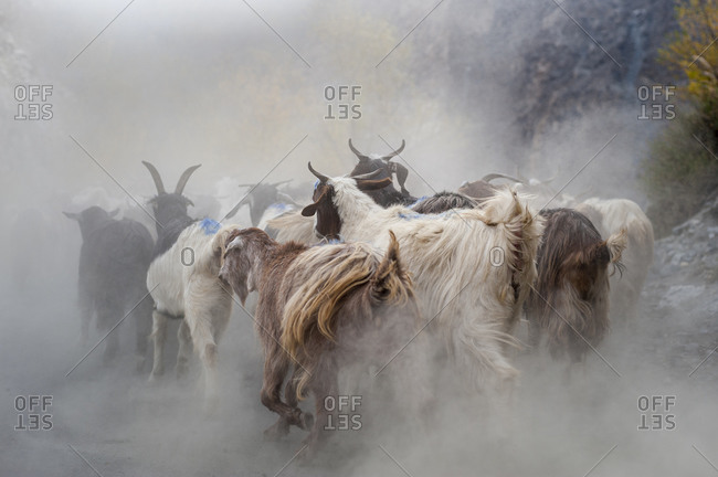 A heard of goats running along a dusty road in northern Pakistan