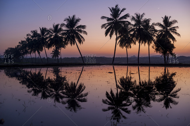 Palm trees reflected in water filled rice paddies in Hampi