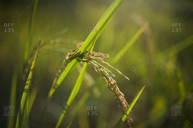 Fully matured rice ready to be harvested