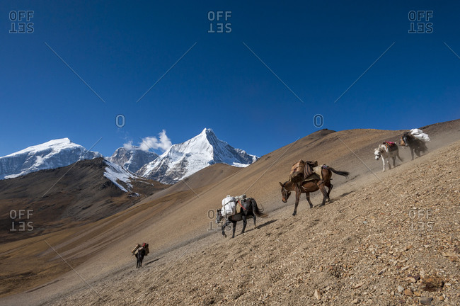 Pack horses cross the Nyile La pass at 4950M with the peak of Jichu Drake visible in the distance along the Laya Gasa trekking route