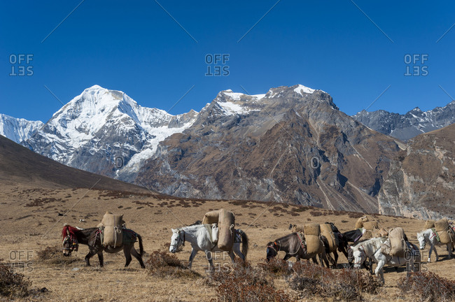 Pack horses cross a small pass after Goyul on the Lasa-Gasa trek route
