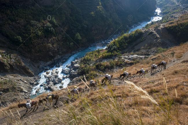 Pack horses bring supplies into the Annapurna region