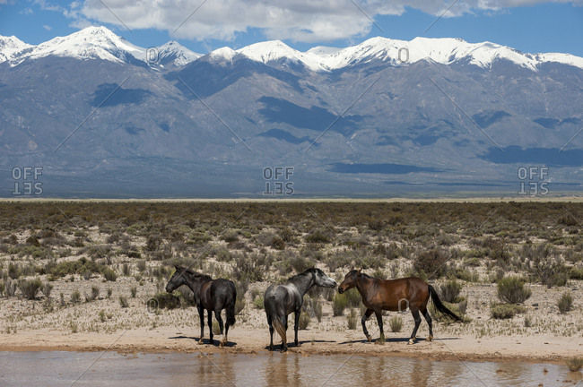 Wild horses in front of the Andes