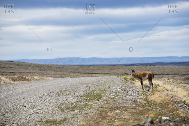 A guanaco beside Route 40 in Patagonia in Argentina