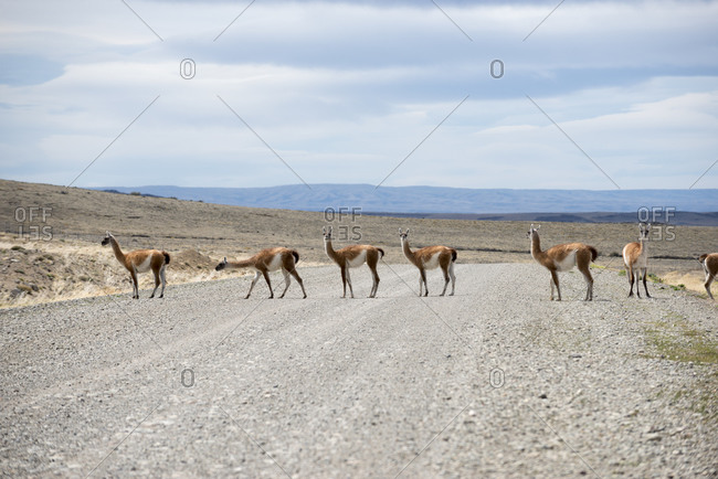 Guanacos cross Route 40 in Patagonia in Argentina