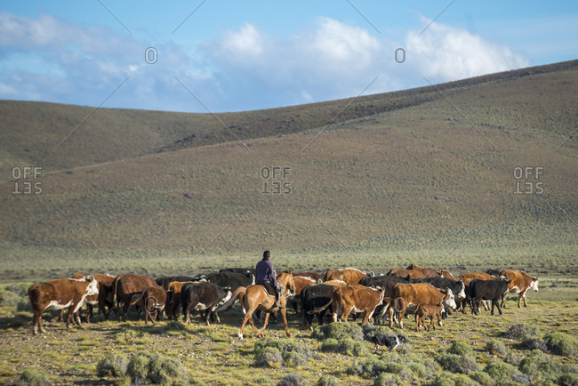 Patagonia, Argentina - November 15, 2014: A Gaucho on horseback herding cattle in Patagonia along Route 40 in Argentina