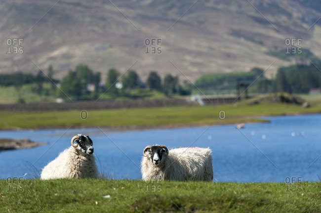 Sheep in front of Loch Laggan in the Cairngorms National Park