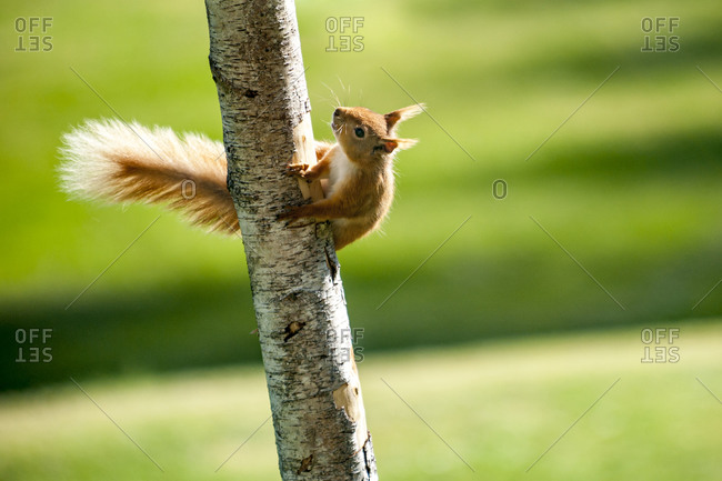 A Red Squirrel climbing up a tree