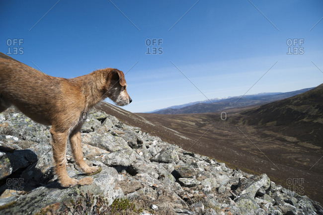 A dog looks out over Glen Tromie in the Cairngorms in Scotland