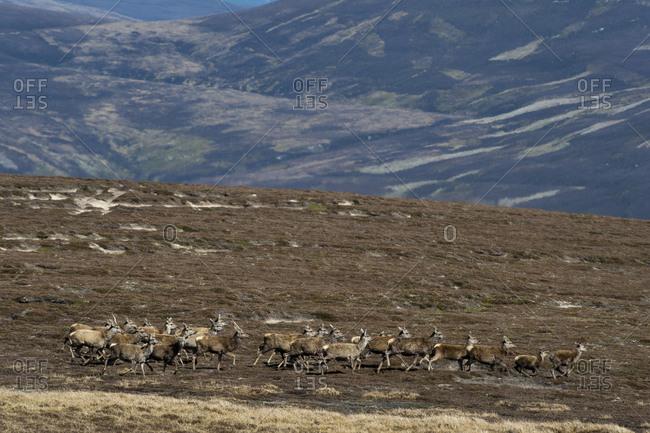 Red Deer run across the top of Glen Tromie in the Cairngorms national park