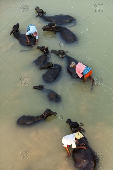 Kapilvastu District, Lumbini Province, Nepal - October 17, 2011: Men wash their water buffaloes in the river