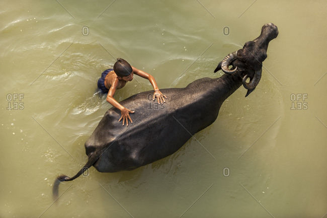 A boy messing about in the river diving from the back of a water buffalo in Nepal
