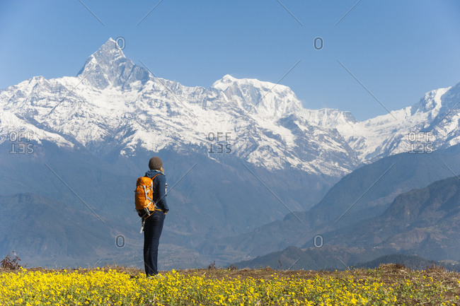 A woman hiking alone stops among bright yellow mustard flowers to look at Fishtail mountain which is part of the Annapurna range of mountains in the Himalayas in Nepal