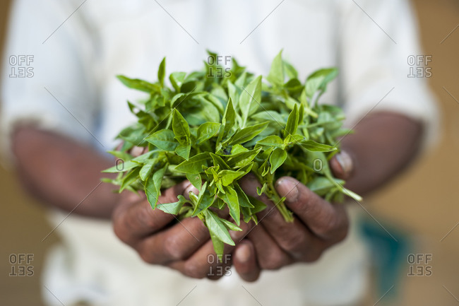 A man holds a large handful of fresh basil leaves at an organic farm in Nepal