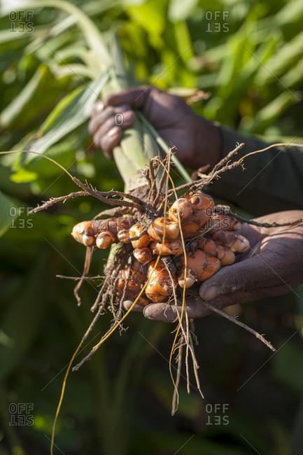 A man collects fresh turmeric at an organic farm in Nepal