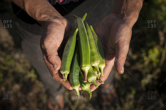 A man collects fresh okra at an organic farm in Nepal