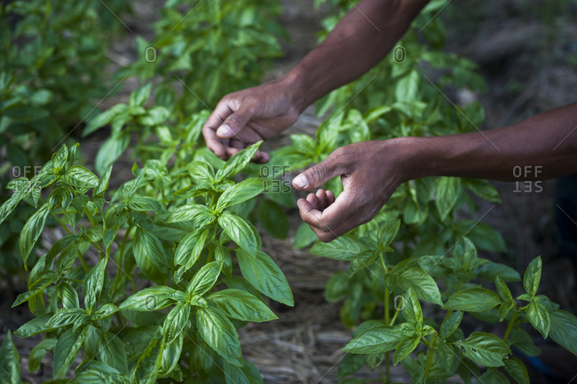 A man collects fresh basil leaves at an organic farm in Nepal